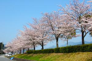 Sakura70